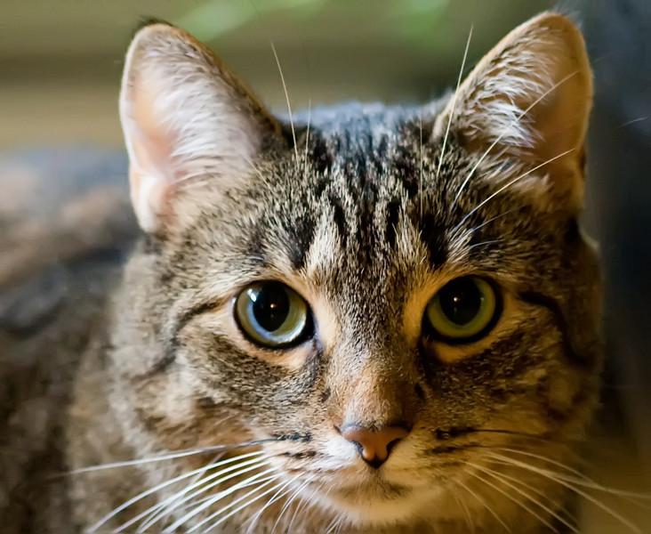 Shinevar Kitties