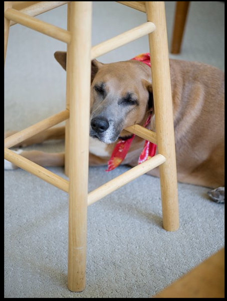 dog resting on stool