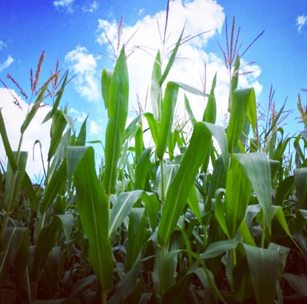 corn in a cornfield