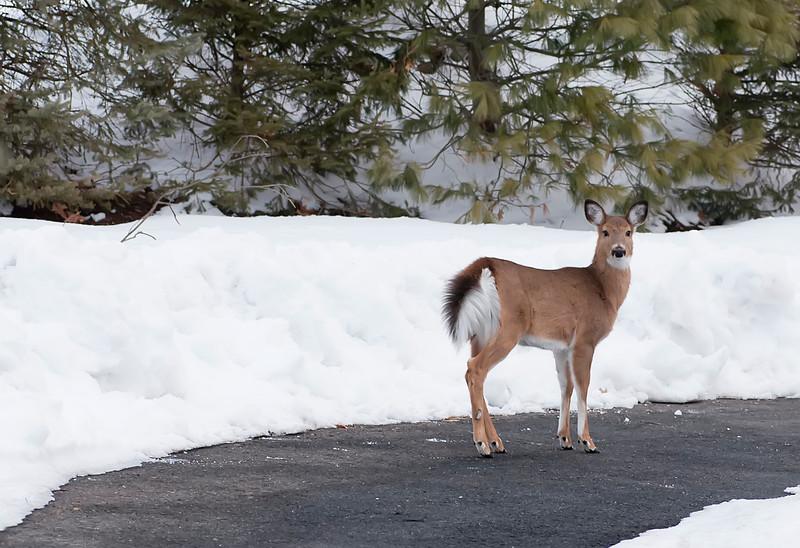 deer in driveway